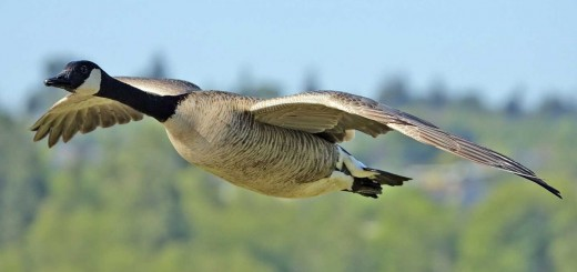 a-wild-goose-flying